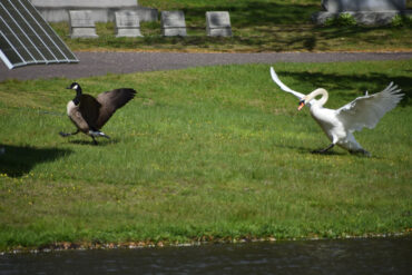 Territorial swan chasing Canada goose at Forest Dale Cemetery, Malden, May 14, 2021. (©Greg Cook photo)