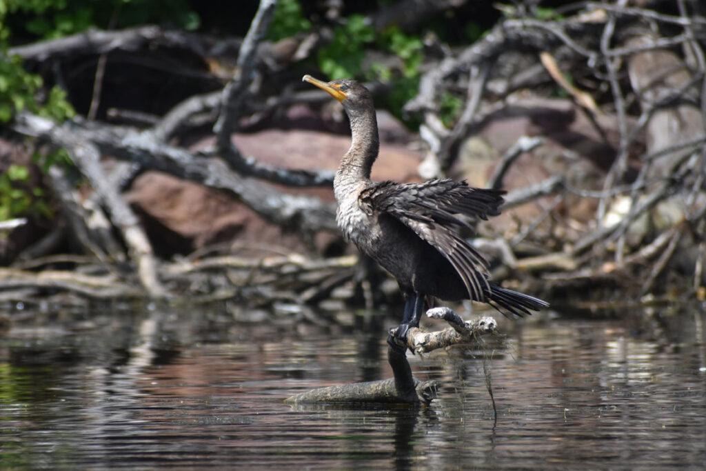 Cormorant along Mystic River, Medford, Aug. 15, 2021. (©Greg Cook photo)