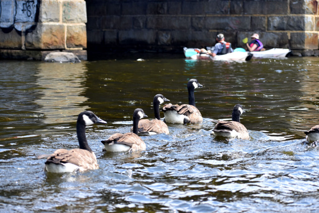Canada geese at Route 28 bridge over Mystic River, Medford, Aug. 15, 2021. (©Greg Cook photo)