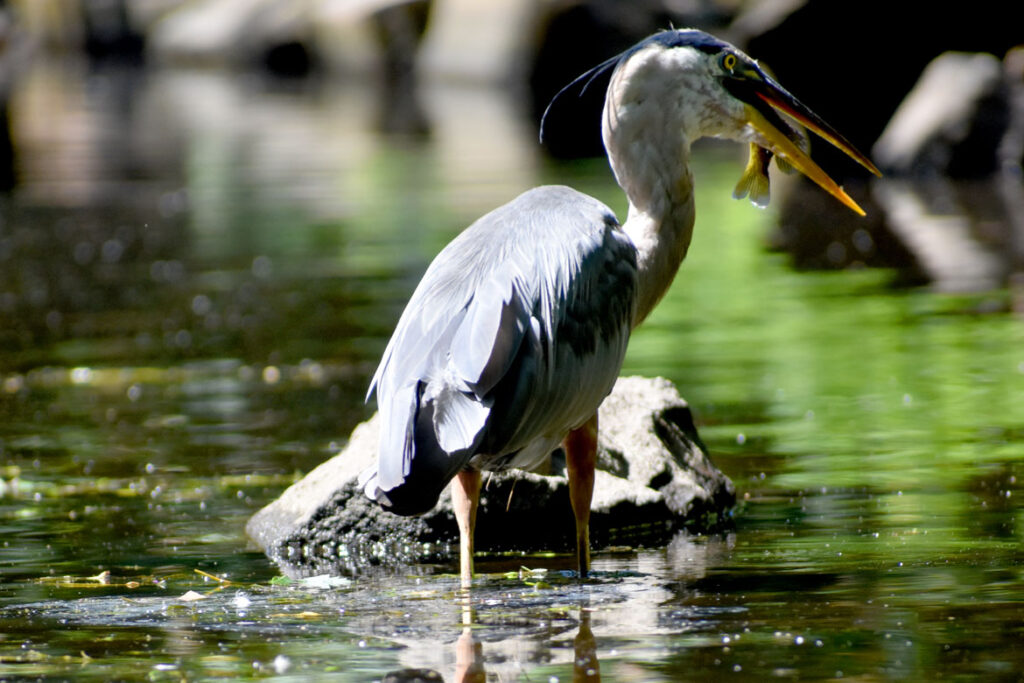 Heron catching fish along Mystic River, Medford, Aug. 15, 2021. (©Greg Cook photo)