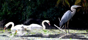 Heron and swans along Mystic River, Medford, Aug. 15, 2021. (©Greg Cook photo)