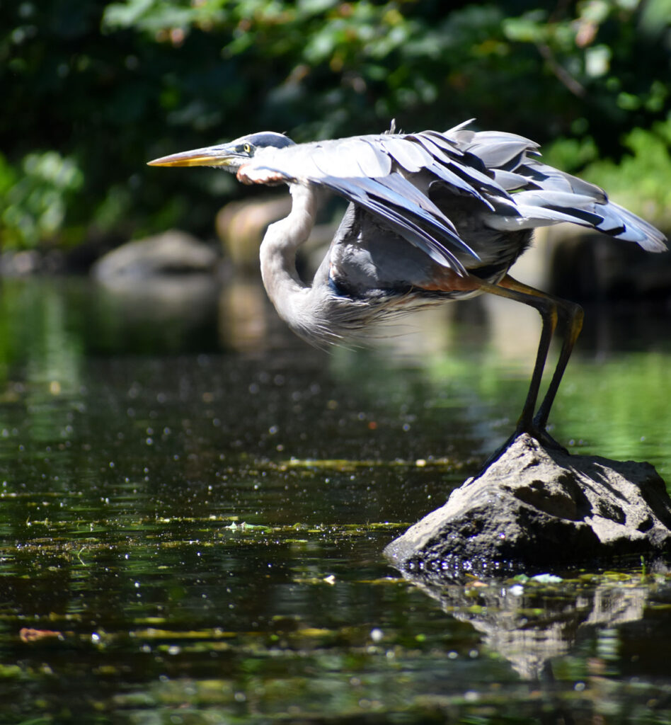 Heron preparing to fly along Mystic River, Medford, Aug. 15, 2021. (©Greg Cook photo)
