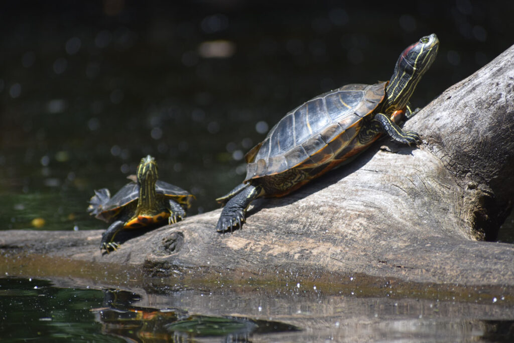 Painted turtles along Mystic River, Medford, Aug. 15, 2021. (©Greg Cook photo)
