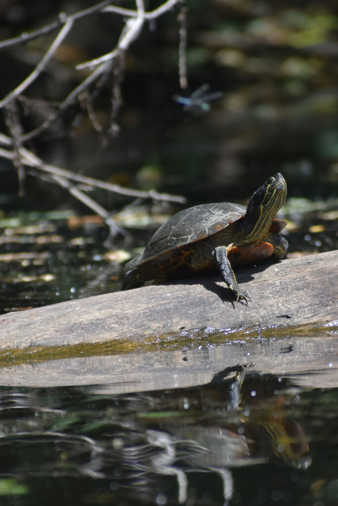 Painted turtle and dragonfly along Mystic River, Medford, Aug. 15, 2021. (©Greg Cook photo)
