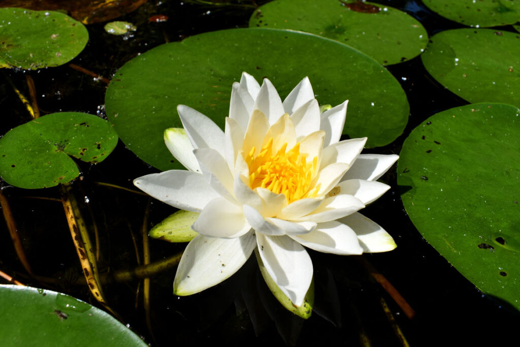 Water lily along Mystic River, Medford, Aug. 15, 2021. (©Greg Cook photo)