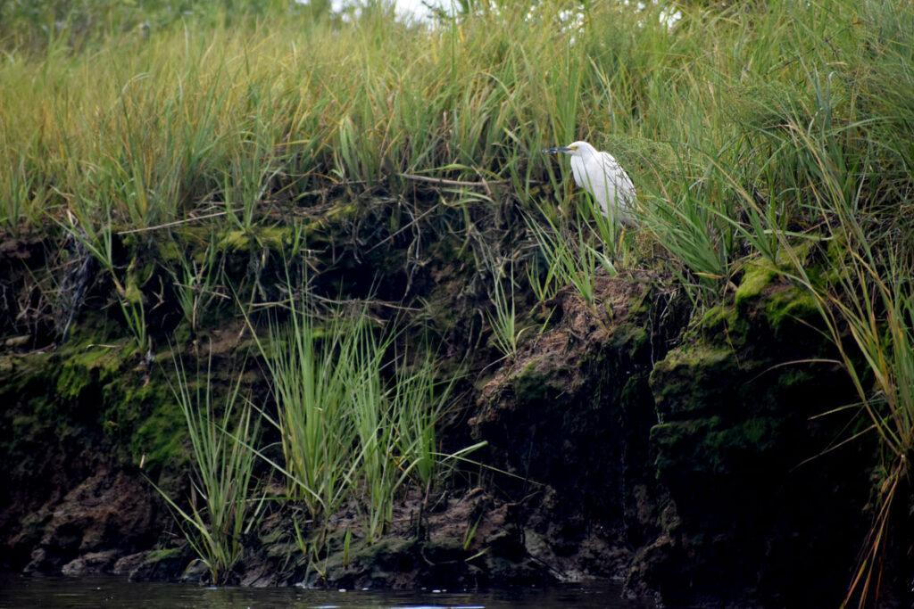 Snowy egret at Rumney Marsh, Saugus, Sept. 3, 2021. (©Greg Cook photo)