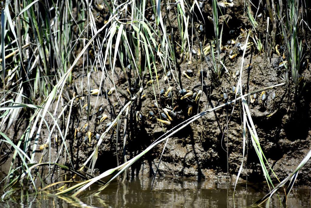 Fiddler crabs at Rumney Marsh, Saugus, Sept. 3, 2021. (©Greg Cook photo)