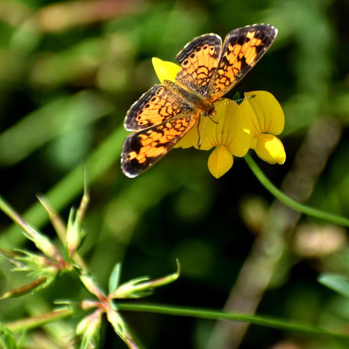 Butterfly at Rumney Marsh, Saugus, Sept. 3, 2021. (©Greg Cook photo)