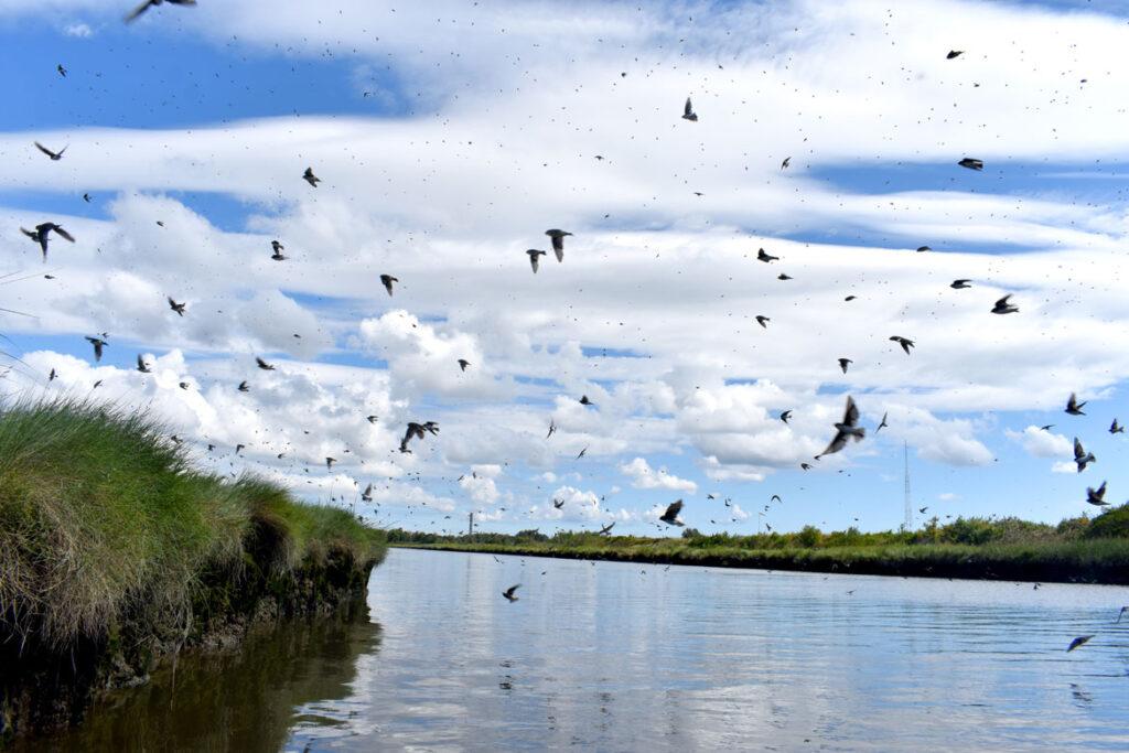 Murmuration of tree swallows over Rumney Marsh, Saugus, Sept. 3, 2021. (©Greg Cook photo)