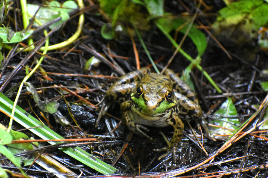 Frog at Willowdale State Forest, Sept. 18, 2021. (©Greg Cook photo)