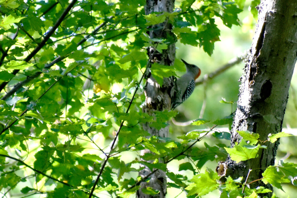 Red-bellied woodpecker at Willowdale State Forest, Sept. 18, 2021. (©Greg Cook photo)