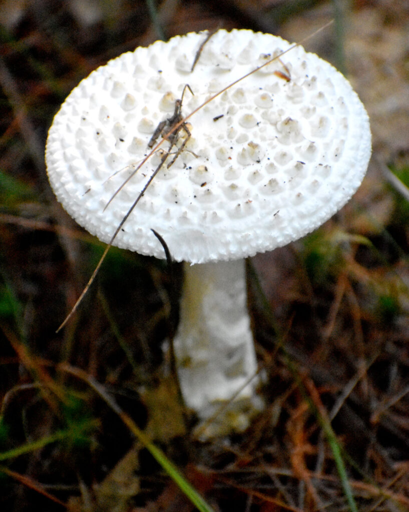 Mushroom at Willowdale State Forest, Sept. 18, 2021. (©Greg Cook photo)