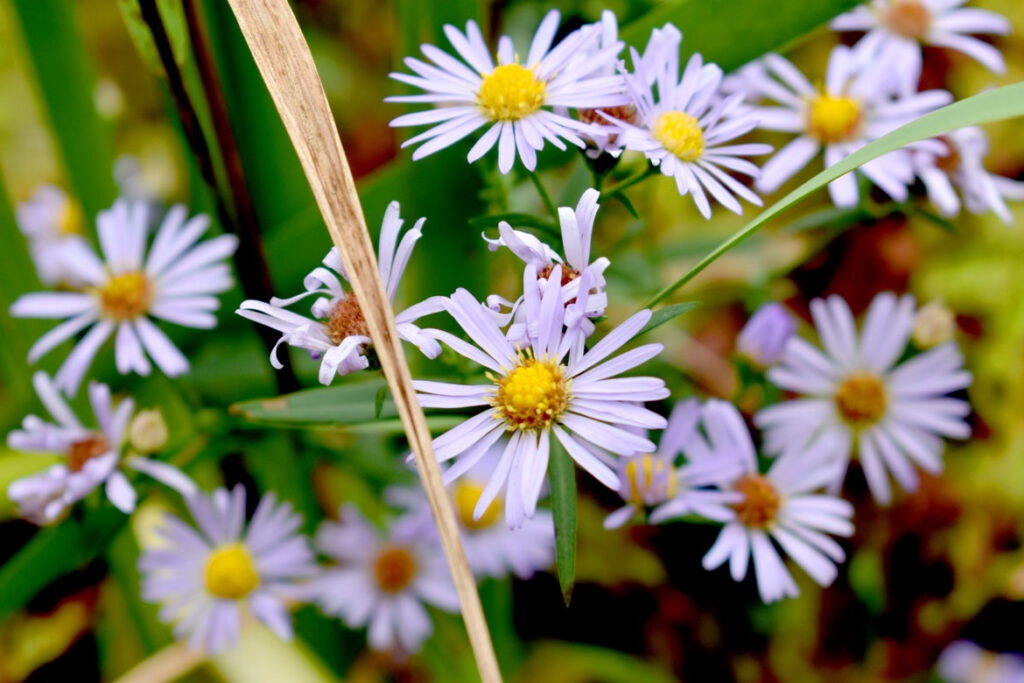 Asters at Willowdale State Forest, Sept. 18, 2021. (©Greg Cook photo)