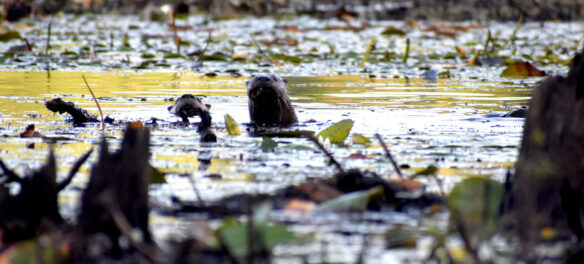 Otters at Willowdale State Forest, Sept. 19, 2021. (©Greg Cook photo)