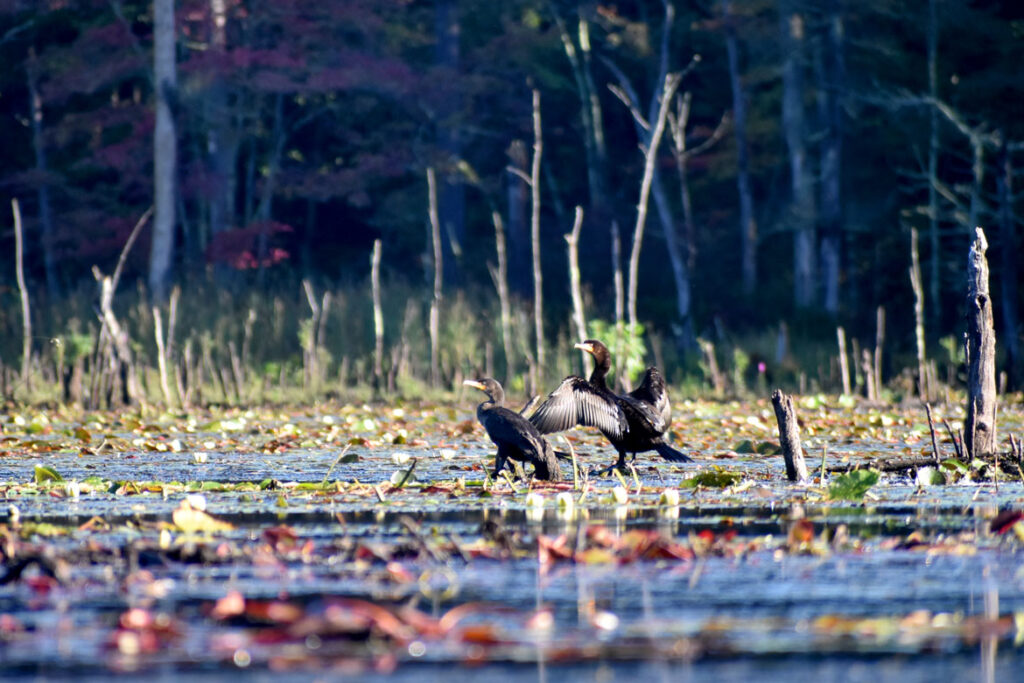 Cormorants at Willowdale State Forest, Sept. 19, 2021. (©Greg Cook photo)