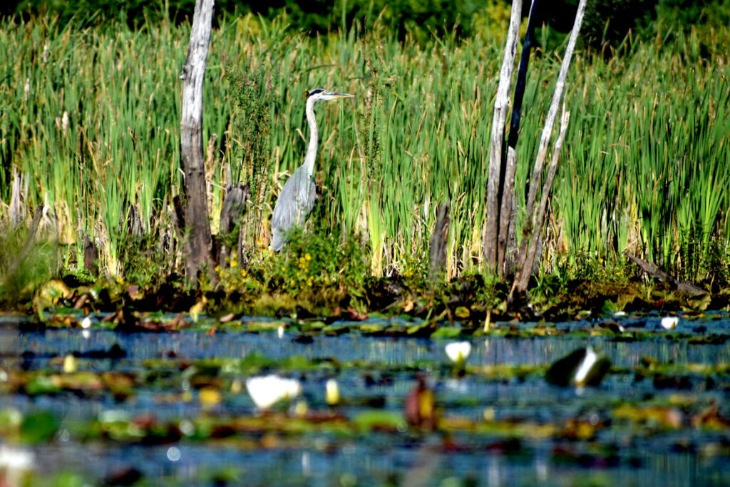 Heron at Willowdale State Forest, Sept. 19, 2021. (©Greg Cook photo)