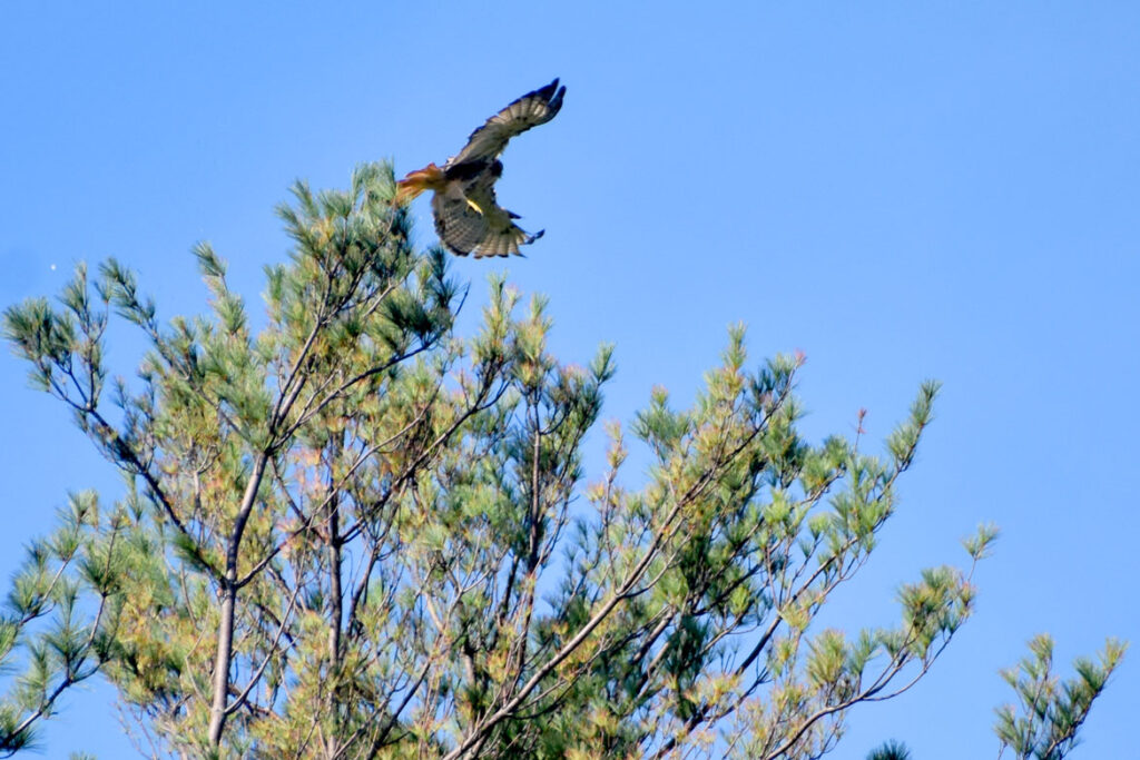 Hawk at Willowdale State Forest, Sept. 19, 2021. (©Greg Cook photo)