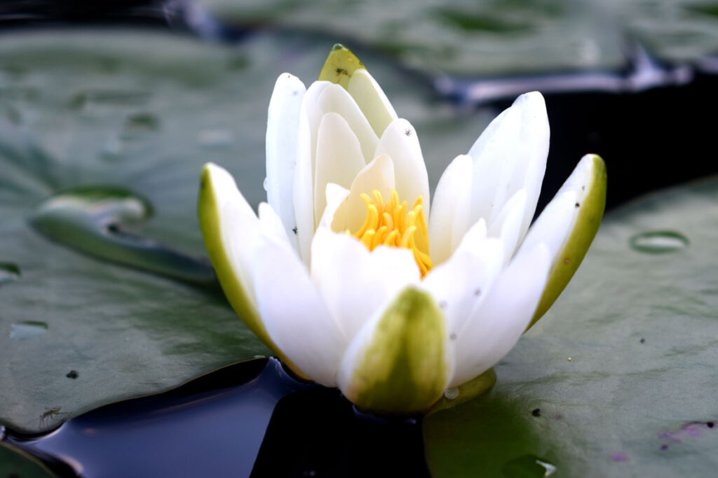 Water lily at Willowdale State Forest, Sept. 19, 2021. (©Greg Cook photo)