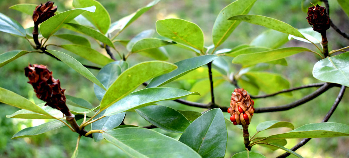 Sweetbay magnolias (Magnolia virginiana) in seed at the Arnold Arboretum, Boston, Oct. 16, 2021. (©Greg Cook photo)